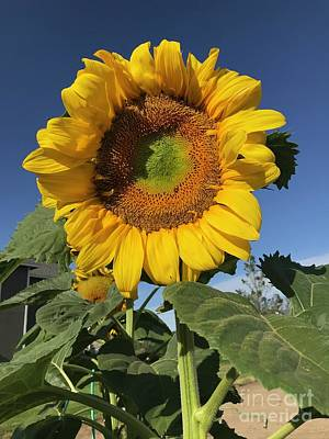 Target Threshold Nature - The Brightest Sunflower by Carol Groenen