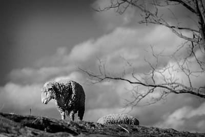 Queen Rights Managed Images - The Eeyore Of The Sheep World Royalty-Free Image by Jim Love
