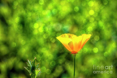 Royalty-Free and Rights-Managed Images - The glow of a poppy by Veikko Suikkanen