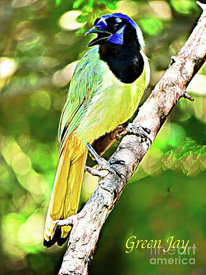 Rights Managed Images - The Green Jay of South Texas Royalty-Free Image by Gary Richards