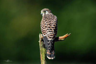 Animals Royalty-Free and Rights-Managed Images - The hunting position for the young kestrel by Torbjorn Swenelius
