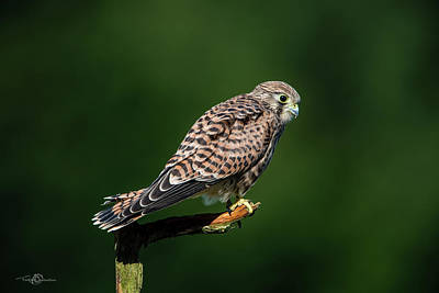 Photograph - The hunting position in profile for the young kestrel by Torbjorn Swenelius