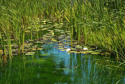 Sean Rights Managed Images - The Lily Pond Royalty-Free Image by Bonnie Follett