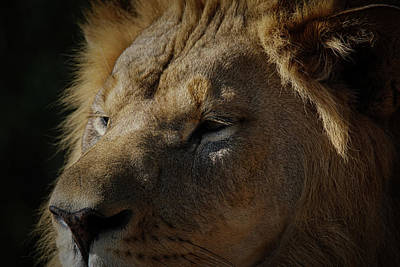 Whimsically Poetic Photographs Rights Managed Images - The Lion Up close Royalty-Free Image by Ernie Echols