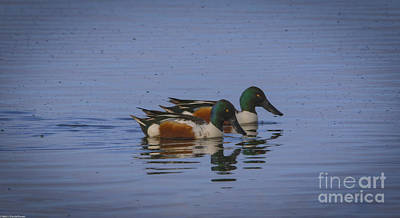 Modern Sophistication Line Drawings Royalty Free Images -  The Northern Shoveler Royalty-Free Image by Mitch Shindelbower