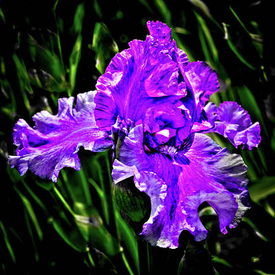 All American - The Purple Iris by David Patterson