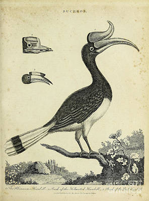Animals Drawings - The Rhinoceros Hornbill and Helmeted Hornbill h2 by Historic illustrations