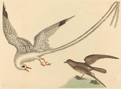 Drawing - The Rice-bird, Emberiza Oryzivora by Mark Catesby
