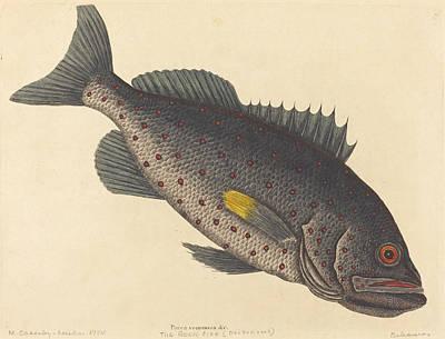 Drawing - The Rock Fish, Perca Venenosa by Mark Catesby