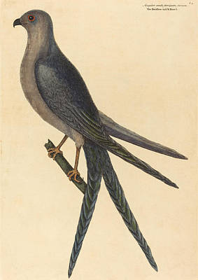 Drawing - The Swallow Tail Hawk, Falco Furcatus by Mark Catesby