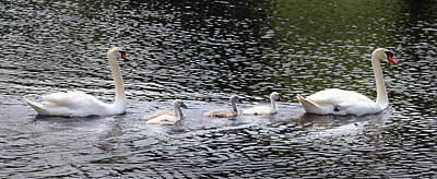 Lake Life - The Swan Family by David T Wilkinson