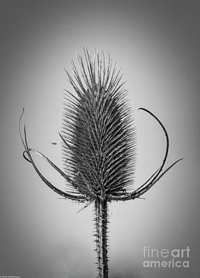 Moody Trees Rights Managed Images - The Teasel Black And White Royalty-Free Image by Mitch Shindelbower