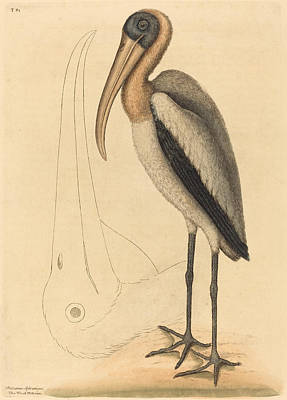 Drawing - The Wood Pelican, Tantalus Loculator by Mark Catesby