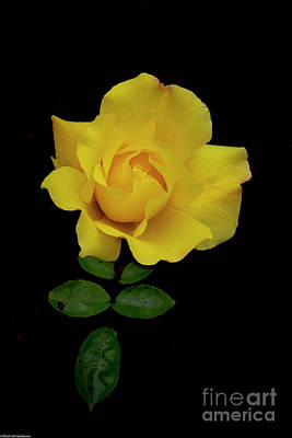 Vintage Buick - The Yellow Rose by Mitch Shindelbower