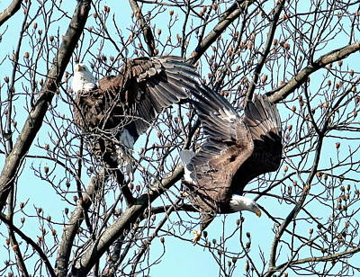 Birds Rights Managed Images - Thompson Lake in Lincroft New Jersey bald headed eagles Royalty-Free Image by Geraldine Scull