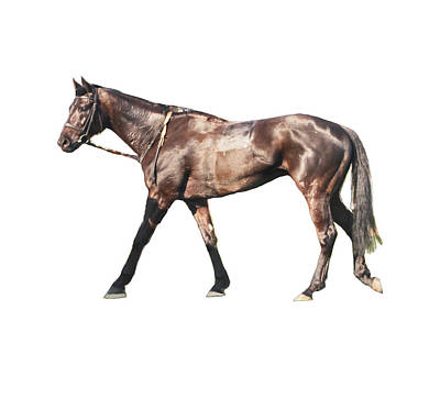 Photograph - Thoroughbred Racehorse by Tom Conway