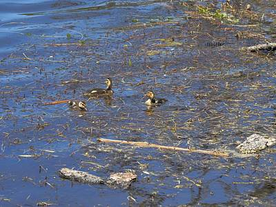Easter Egg Hunt Rights Managed Images - Three Brave Ducklings Royalty-Free Image by Richard Thomas
