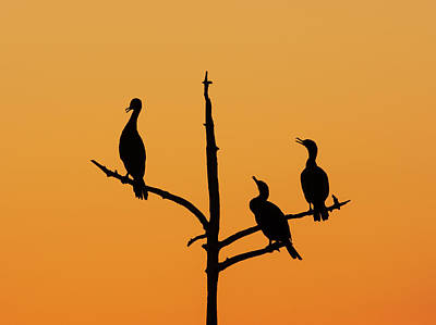 Lori A Cash Royalty-Free and Rights-Managed Images - Three Cormorants in Tree Silhouette by Lori A Cash