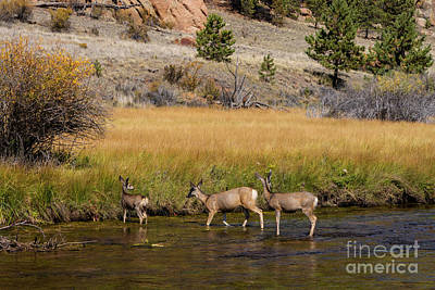 Steven Krull Royalty-Free and Rights-Managed Images - Three Doe Crossing by Steven Krull