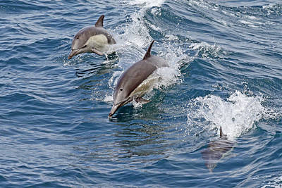 Royalty-Free and Rights-Managed Images - Three Dolphin Stages by Shoal Hollingsworth