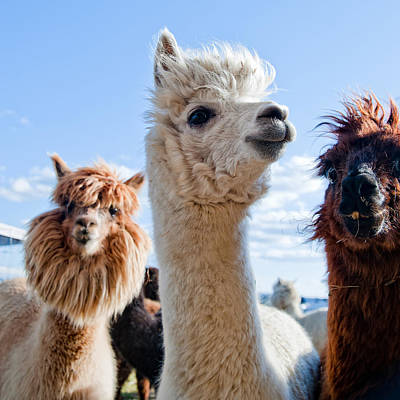 Royalty-Free and Rights-Managed Images - Three Funny Alpacas by Julien