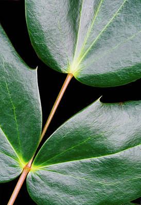 Still Life Royalty-Free and Rights-Managed Images - Three Ivy Leaves Connected by Gary Slawsky