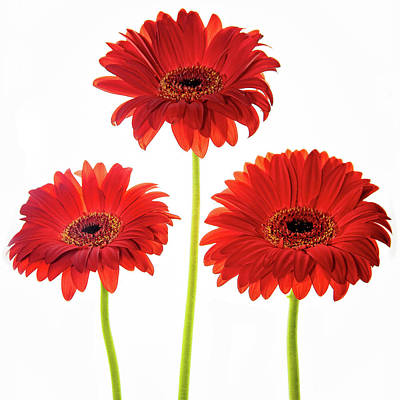 Anne Geddes Collection - Three Orange Gerbera Daisies by Rebecca Cozart