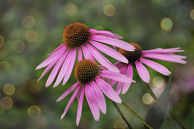 Photograph - Three Soft and Dreamy Coneflowers by Judy Garrard