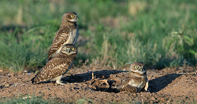 Olympic Sports - Three young Burrowing Owls by Gary Langley