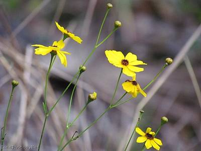 Photograph - Tick Seed Flowers Yellow by Ian Sands