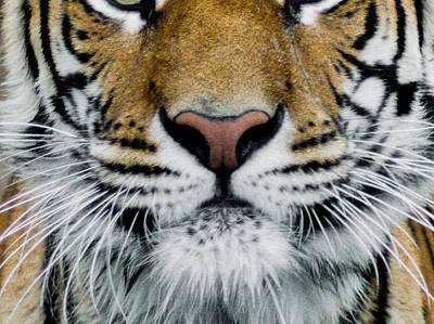 State Love Nancy Ingersoll - Tiger Face by Domingo Rod