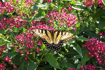 Rights Managed Images - Tiger Swallowtail USA Butterfly Art Royalty-Free Image by Reid Callaway