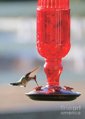 Kitchen Mark Rogan - Tiny Hummingbird at Red Feeder by Carol Groenen