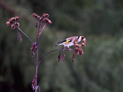 Thomas Kinkade Rights Managed Images - To hold the balance. European goldfinch Royalty-Free Image by Jouko Lehto