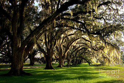 Queen Rights Managed Images - Tomotley Plantation Oak Allee Royalty-Free Image by Norma Brandsberg