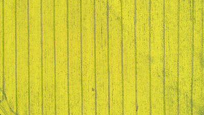 David Bowie - Top down view of yellow canola field. Cultivated rapeseed canola plantation field by Michael Dechev