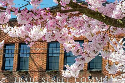 Jerry Sodorff Royalty-Free and Rights-Managed Images - Trade Street Cherry Trees 2 by Jerry Sodorff