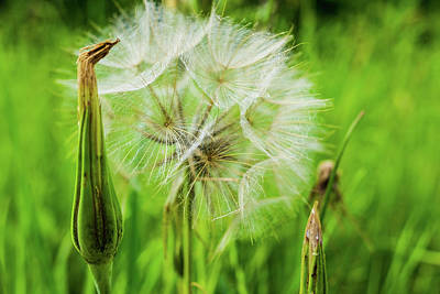 Royalty-Free and Rights-Managed Images - Tragopogon, goatsbeard or salsify is like a huge dandelion flower. by David Ridley