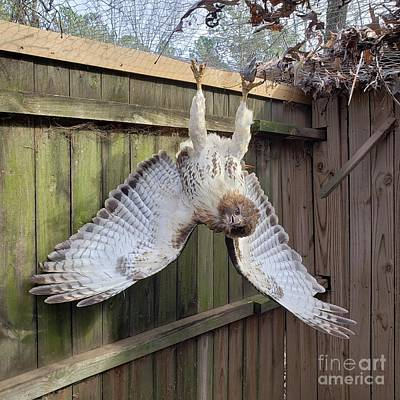 From The Kitchen - Red-tailed Hawk Trapped In My Chicken Pen by Donna Brown