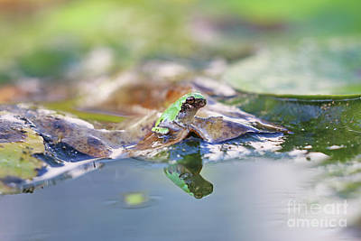 Stocktrek Images - Tree Frog Reflection 1083 by Jack Schultz