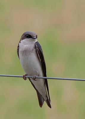 Spot Of Tea - Tree Swallow 4 by David Beard