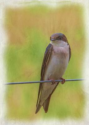 Animals Royalty-Free and Rights-Managed Images - Tree Swallow 5 by David Beard