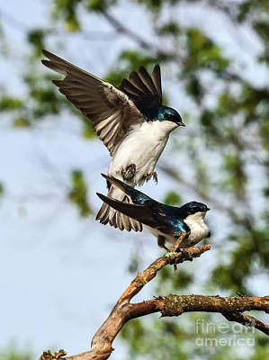 Personalized Name License Plates - Tree Swallows Mating by Cindy Treger