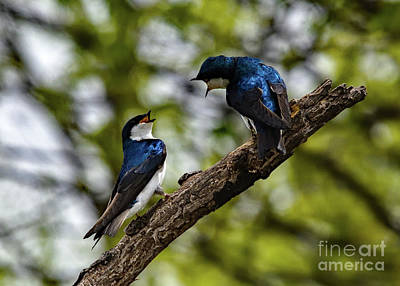 Animals Photos - Tree Swallows Having A Heated Conversation by Cindy Treger