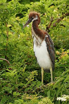 Lori A Cash Royalty-Free and Rights-Managed Images - Tricolored Heron Chick by Lori A Cash