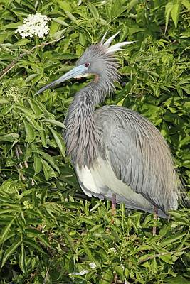 Lori A Cash Royalty-Free and Rights-Managed Images - Tricolored Heron in Breeding Plumage by Lori A Cash