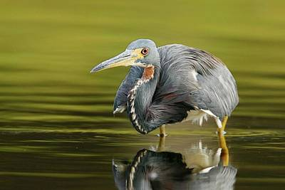 Lori A Cash Royalty-Free and Rights-Managed Images - Tricolored Heron Searching by Lori A Cash