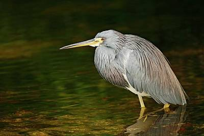 Lori A Cash Royalty-Free and Rights-Managed Images - Tricolored Heron Standing in Water by Lori A Cash