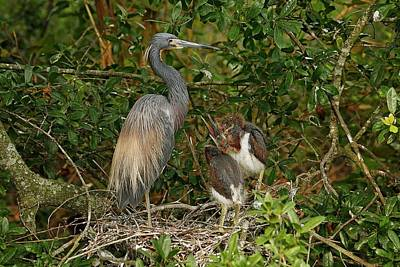 Lori A Cash Royalty-Free and Rights-Managed Images - Tricolored Heron with Chicks by Lori A Cash