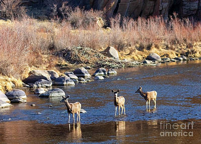 Steven Krull Royalty-Free and Rights-Managed Images - Trio of Mule Deer Does by Steven Krull